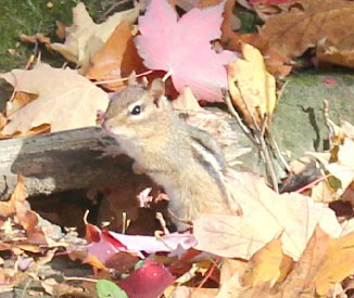 A chipmunk is among a pile of red leaves.