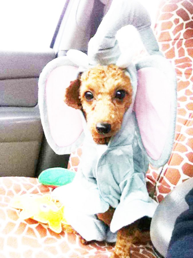 Johnstown resident Kayla Sanders' miniature poodle, Eddie, is dressed in an elephant costume.| Photo courtesy of Kayla Sanders